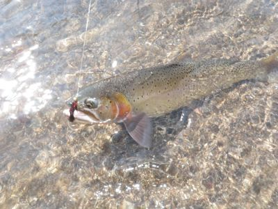 Yellowstone river cutthroat