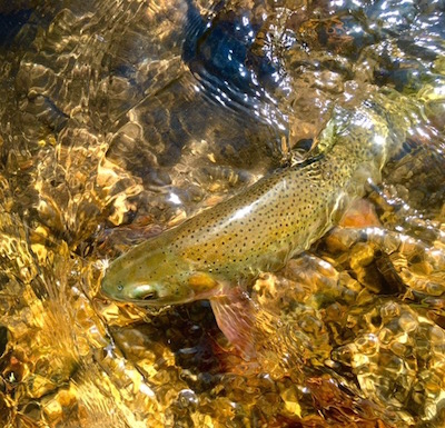 one of the resident cutthroat trout on the elk refuge