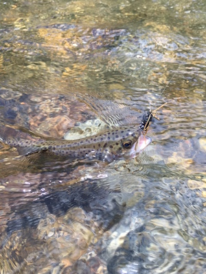 Rainbow trout from a stream in Yellowstone National Park
