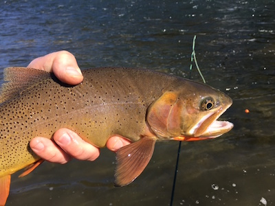 March cutthroat