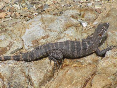 AZ lizard