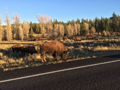 road jam; buffalo on the move
