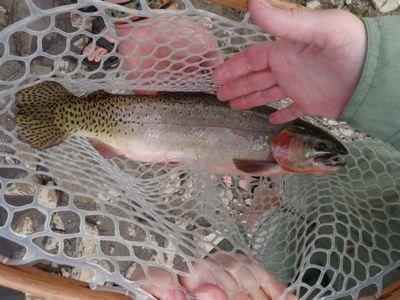 The   elusive Colorado Cutthroat Trout