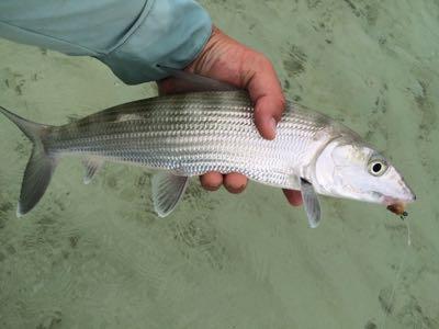 close up of morning bonefish