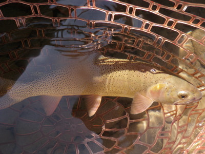 trout in net
