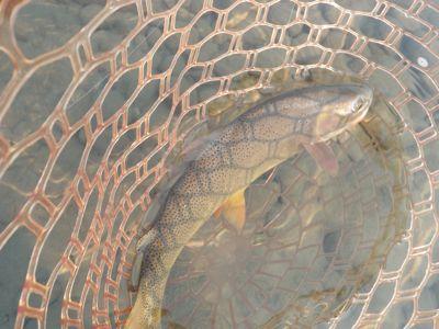 Snake river cutthroat in net