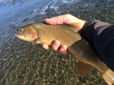 Feb cutthroat