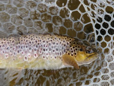 A firehole river brown trout