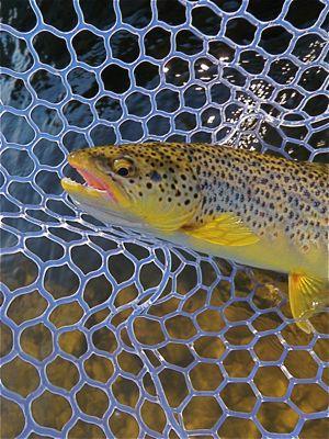 brown trout in 'da net