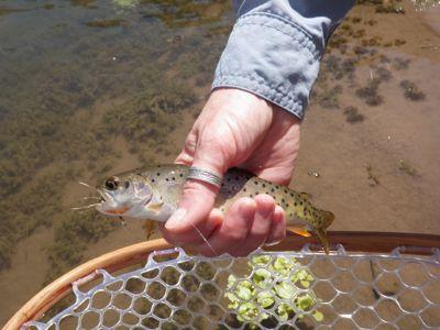 bonneville cutthroat trout