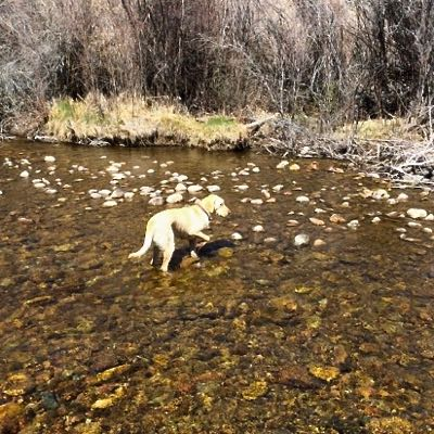 Lulu, the Teton Fly Fishing labrador on point
