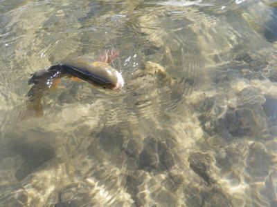 hungry snake river cutthroat