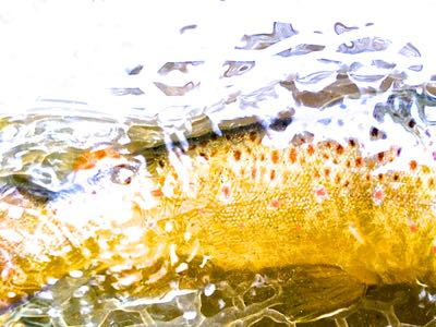 colored up brown trout