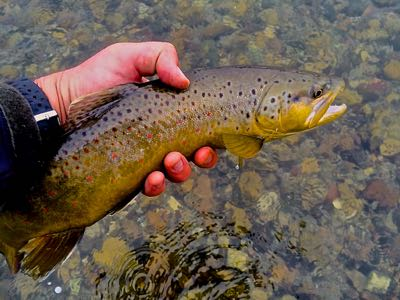 Streamer fishing for wyoming brown trout