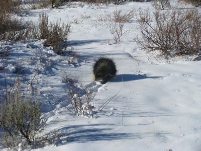 porcupine on the move