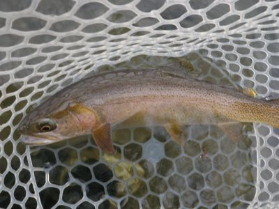 A   winter cutthroat trout