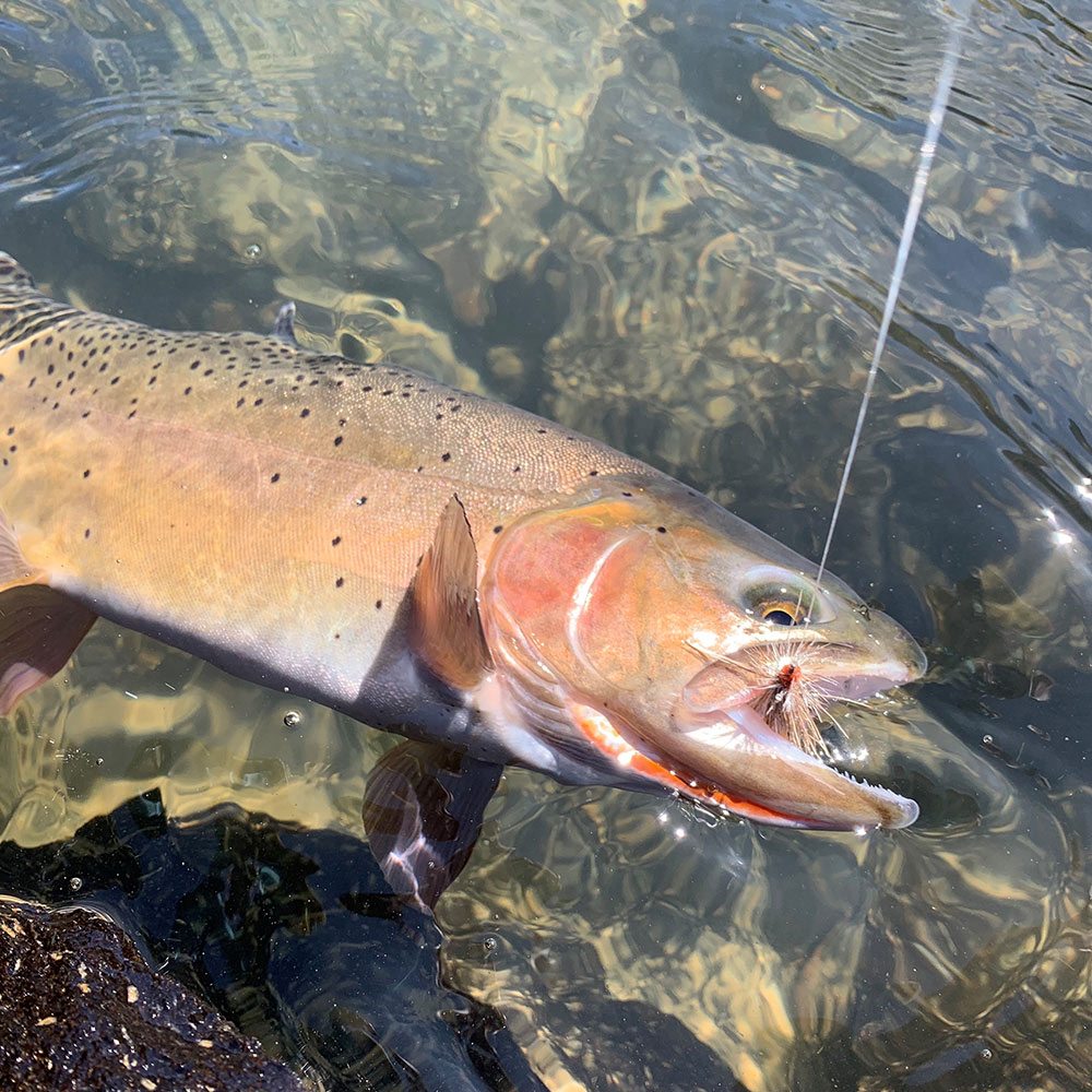 Cutthroat from Yellowstone National Park