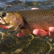 Dubois Wyoming cutthroat trout